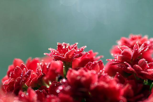 Rubella, Flower, Red, Macro, Tiny, Rosette, Drops