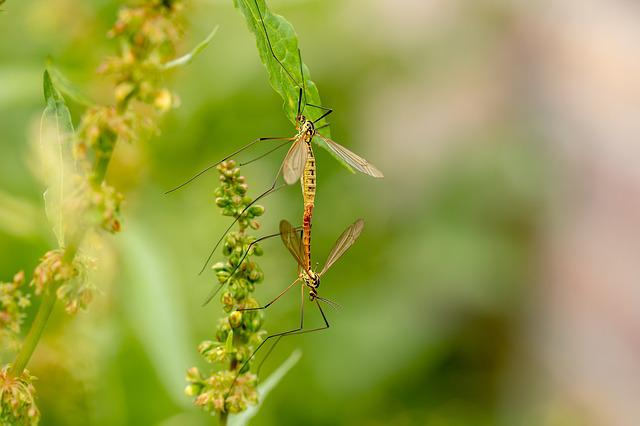 Daddy Longlegs, Insect, Mosquitoes, Tipulidae, Fly