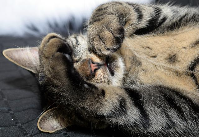 Mammal, Animal, Cat, Fur, Animal World, Cute, Tired