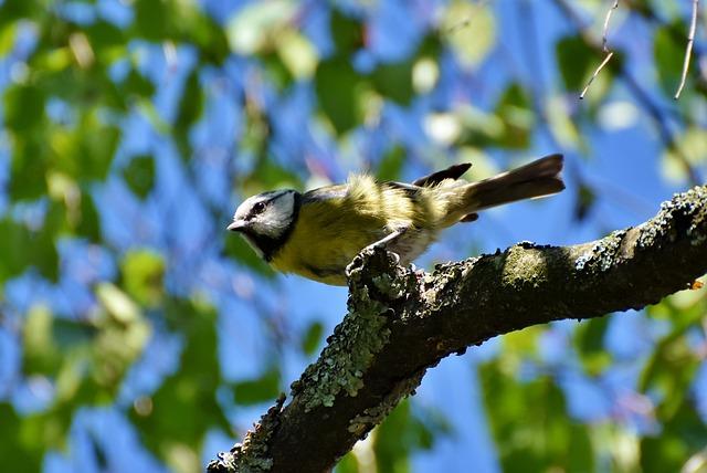 Blue Tit, Tit, Songbird, Plumage, Bird, Small Bird