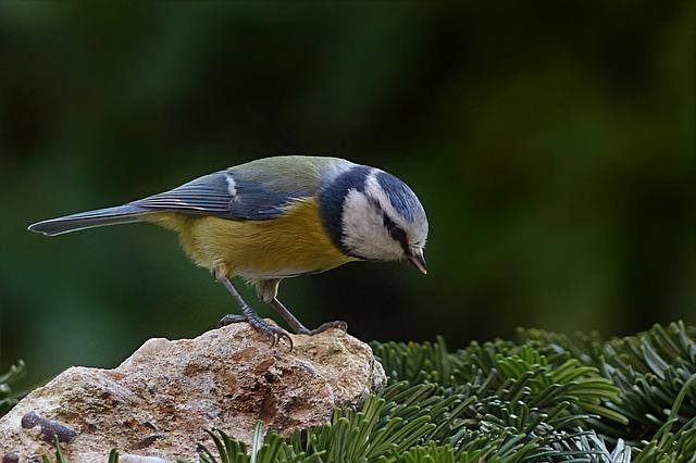 Bird, Tit, Blue Tit, Cyanistes Caeruleus, Foraging