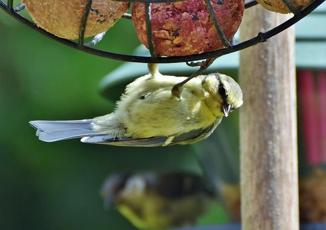 Tit, Songbird, Small Bird, Bird, Bill, Foraging