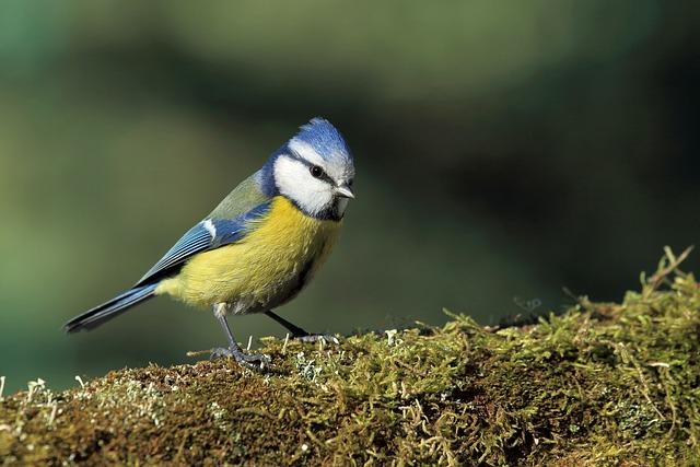 Tit Modra, Bird, Moss, Nature, Moss Forest, Green