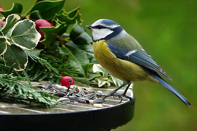 Nature, Animal, Bird, Tit, Blue Tit