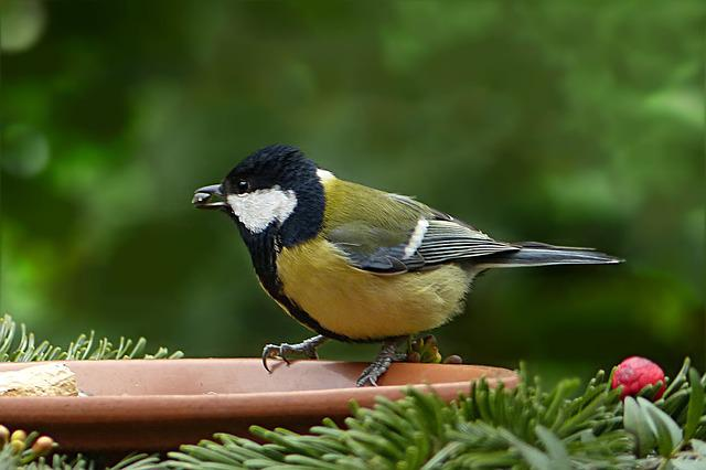 Bird, Tit, Parus Major, Foraging, Garden