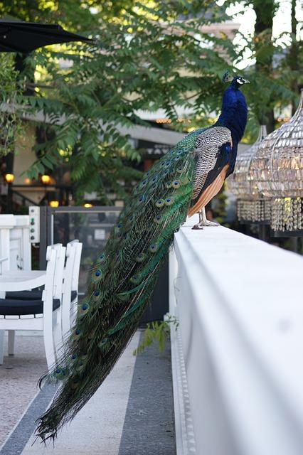 Peacock, Bird, Proud, Tail, Tivoli, Zoo, Garden