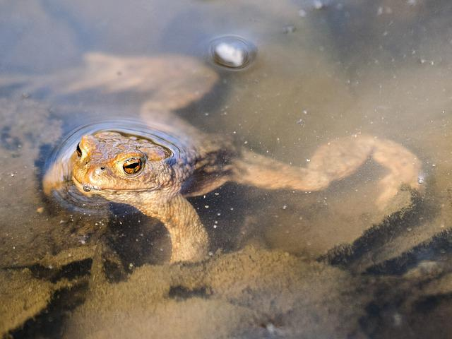 Common Toad, Toad, Amphibians, Nature, Animal