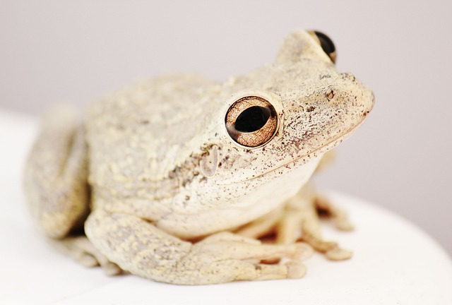 Frog, Toad, Amphibian, Tree Frog, Animal, Wildlife