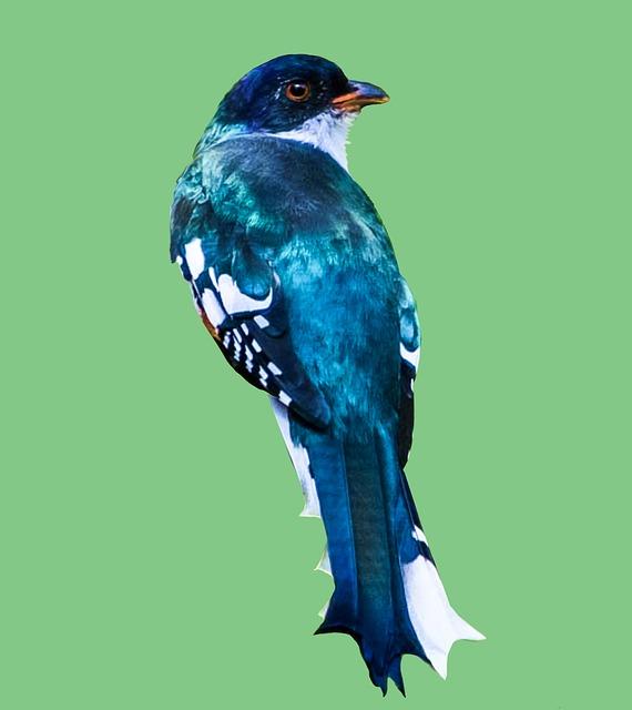 Cuba, Matanzas, Cienaga De Zapata, Tocororo, Birding