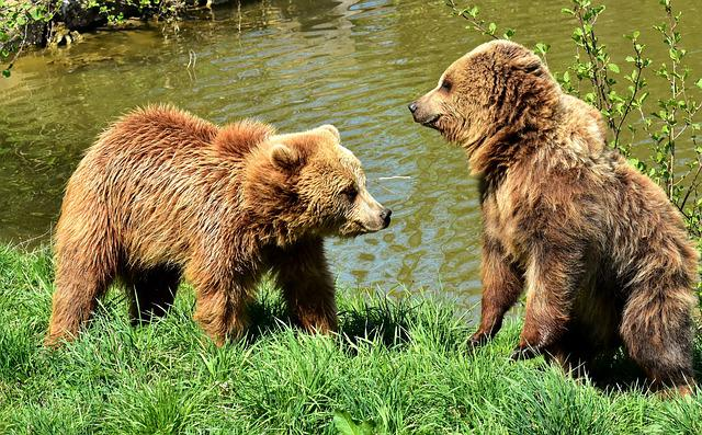 European Brown Bear, Play, Together, Funny, Brown Bear