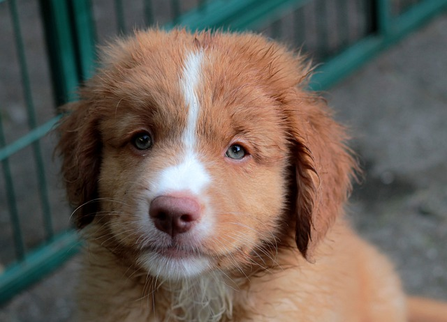 Nova Scotia Duck Tolling Retriever, Puppy, Toller, Cute