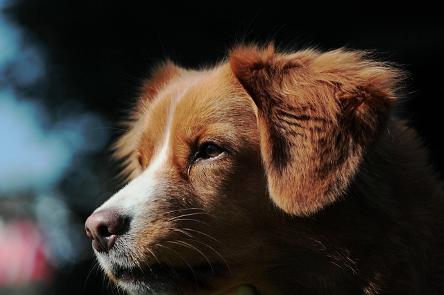 Nova Scotia Duck Tolling Retriever, Toller, Retriever