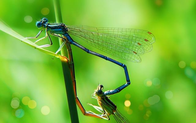 Lanka Girl, Dragonflies Równoskrzydłe, Copulation, Tom