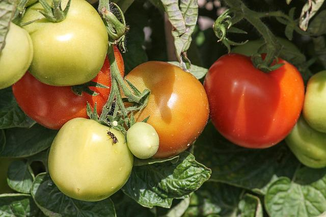 Tomatoes, Ripe, Immature, Mature, Solanum Lycopersicum