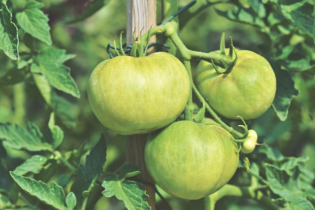 Tomatoes, Panicle Tomato, Fresh, Bush Tomatoes
