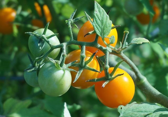 Ripening Tomatoes, Tomato, Tomatoes, Cherry Tomato