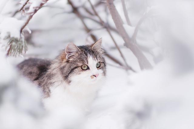 Cat, Tomcat, Winter, Animal, Head, Cat Face, Hairy