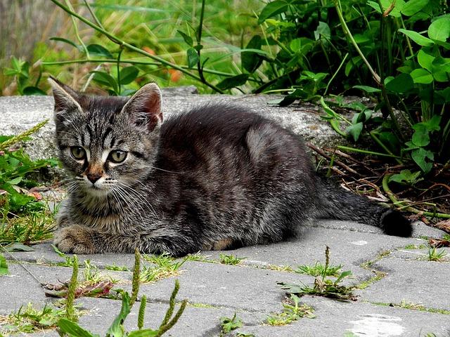 Cat, Kitten, Domestic Cat, Tomcat, Black And White Cat