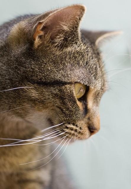 Cat, Eye, Animal, Pet, Tomcat, Cat Face, View