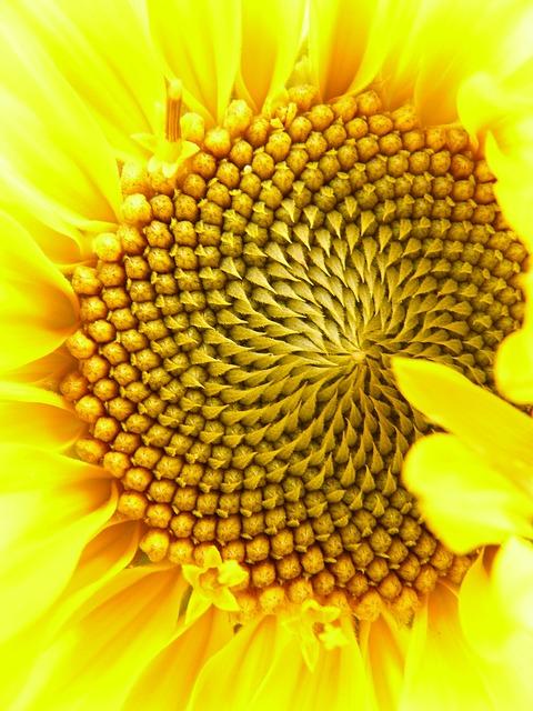 Inflorescence, Flower Basket, Tongue Flower