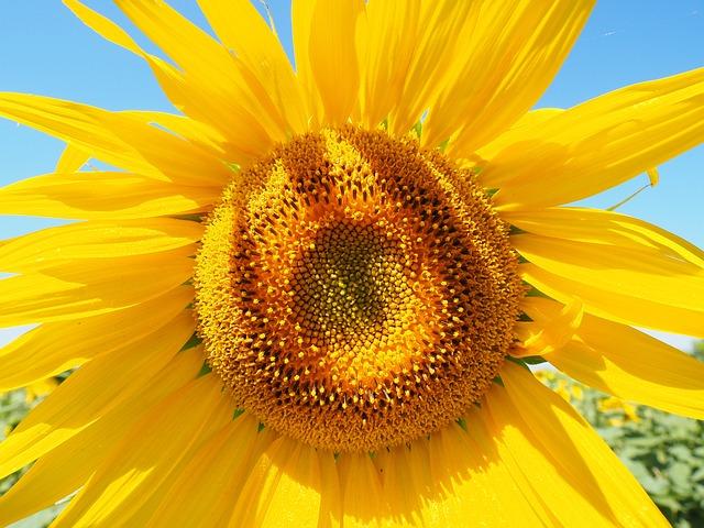 Sunflower, Inflorescence, Flower Basket, Tongue Flower