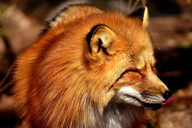 Fuchs, Funny, Tongue, Animal World, Wild Animal