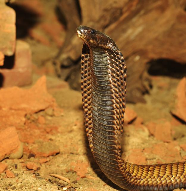 Snake, Cobra, Toxic, Reptile, Animal, Threat, India