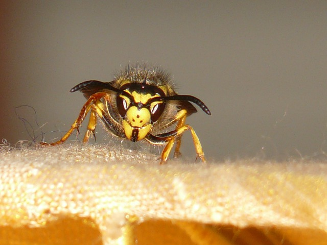 Hornet, Wasp, Insect, Sting, Macro, Close, Toxic