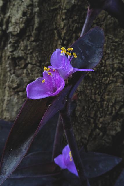 Tradescantia Pallida, Three Master Flower