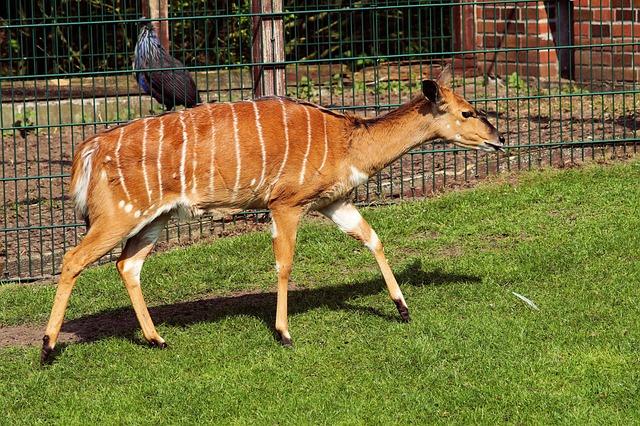 Nyala Antelope, Tragelaphus Angasii, Female