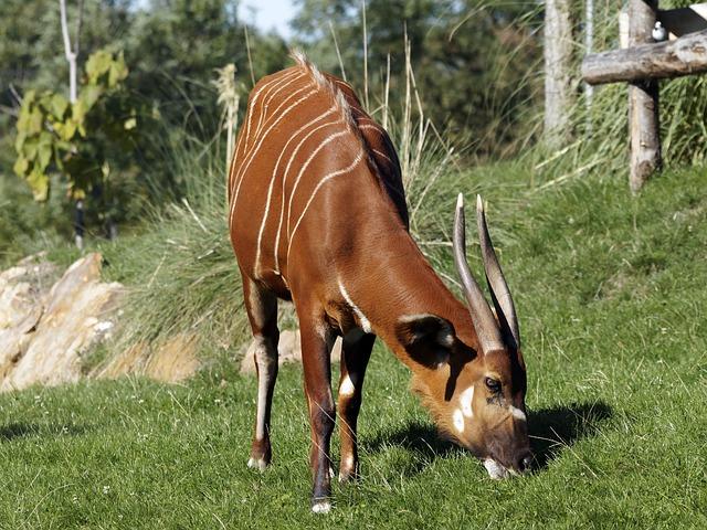 Bongo, Animal, Cattle, Africa, Tragelaphus Eurycerus