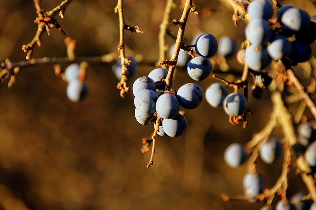 Sloe, Blackthorn, Plant, Winter, Nature, Outdoor, Trail