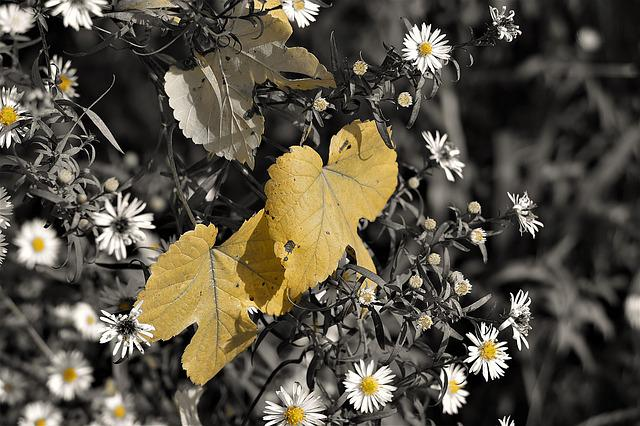 Leaves, Autumn, Daisy, Discoloration, Plant, Transience