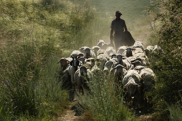 In Xinjiang, The Flock, Transitions, Sheep, Animal