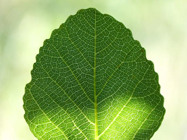 Leaf, Fig Tree, Ramifications, Backlight, Translucent