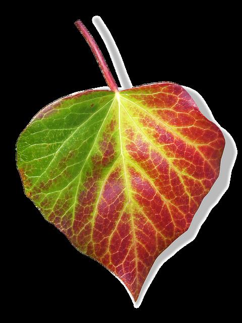 Leaf, Ivy, Transparent Background, Green And Red Leaf