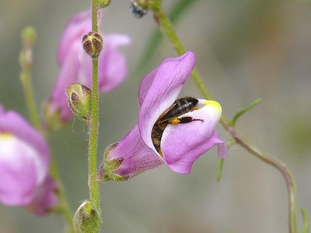 Bee, Libar, Snapdragon, Trapped, Insect Trapped, Pollen