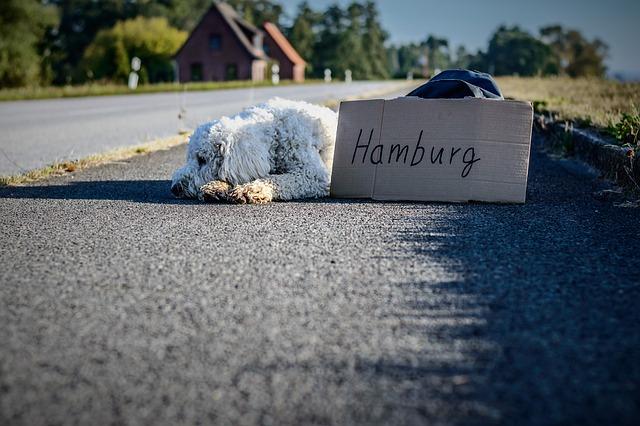 Dog, Goldendoodle, Bored, Road, Travel, Away, Asphalt