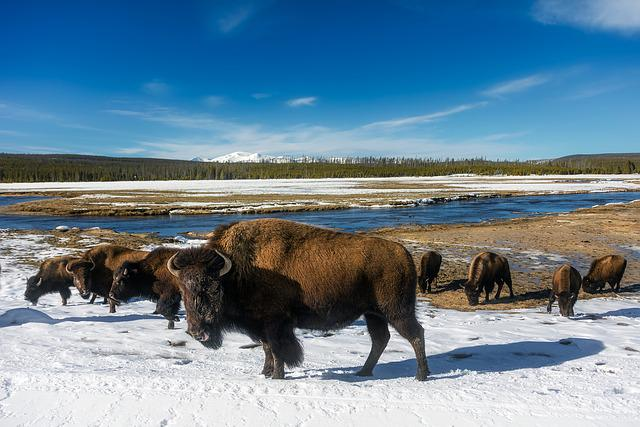 Yellowstone, National Park, Travel, Tourism, Snow