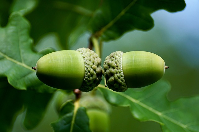 Acorn, Fruit, Tree, Nature, Oak Fruit, Green, Genus