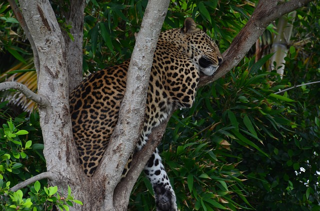 Leopard, Wildcat, Africa, Safari, Concerns, Tree, Sleep