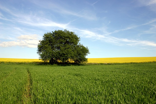 Field, Agriculture, Rape, Wheat, Tree, The Sky, Spring