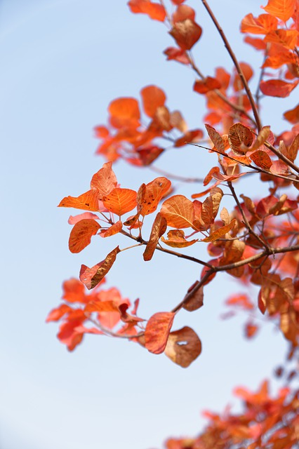 Autumn, Red Leaves, Tree