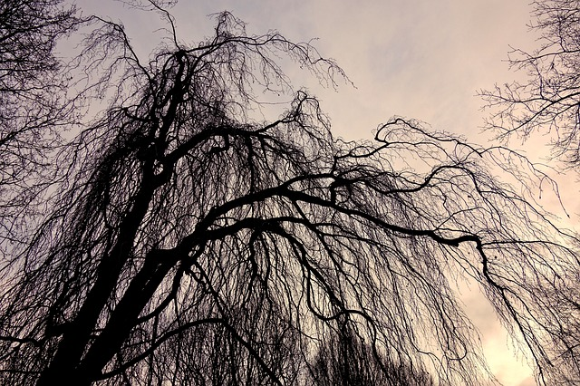 Willow, Tree, Tree Top, Branch, Bare Branch
