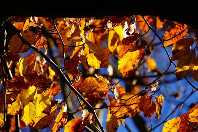 Beech, Tree, Autumn, Fall Foliage, Leaves, Fall Color