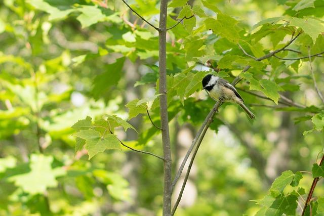 Bird, Chickadee, Black, White, Green, Leaves, Tree