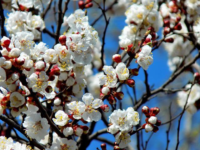 Tree, Cherry, Flower, Bloom, Spring, Blue Sky