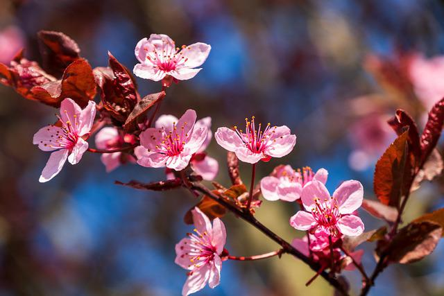 Blood Plum, Tree Blossoms, Cherry Plum, Red Leaf, White