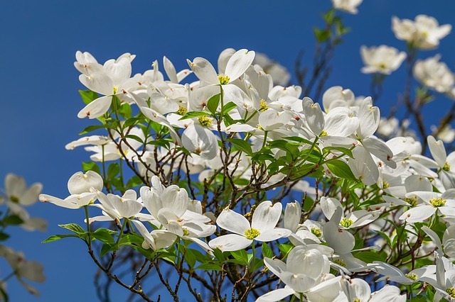 Cornales, Flowers, Bloom, White, Nature, Tree Blossoms