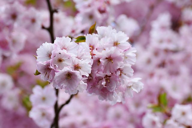 Cherry Blossoms, Japanese Cherry Trees, Tree Blossoms